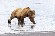 Splashing through the mud at low tide is a large male bear