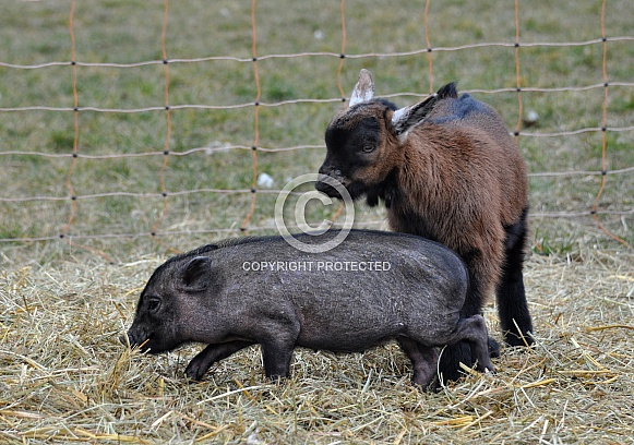 Miniature Pig and Goat