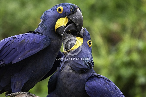 Hyacinth Macaws Joined Beaks