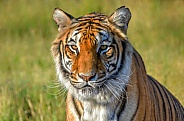 Tiger - Tiger in the Grass