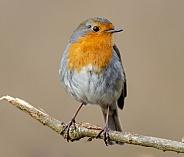 A posing Robin