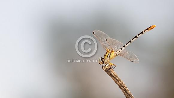 White-faced Meadowhawk, Sympetrum obtrusum