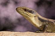 Blue tongue lizard (Juvenile)