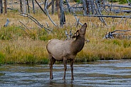 Elk Cow Crossing the Madison River
