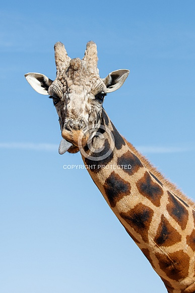 Giraffe with a blue sky background, sticking out his tongue