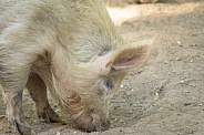Tan pig in dirt