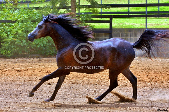 Arabian Colt in Motion