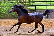 Arabian Colt in Motion