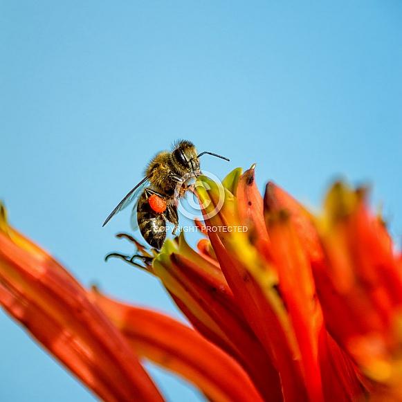 Cape Honey Bee