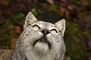 lynx looking up