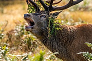 Close up red deer rut
