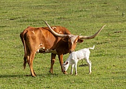Texas Longhorn, Bos taurus, cattle