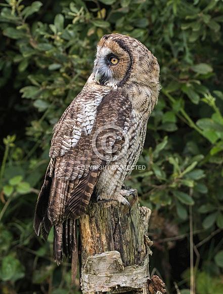 Hybrid Owl Species Looking Over Shoulder