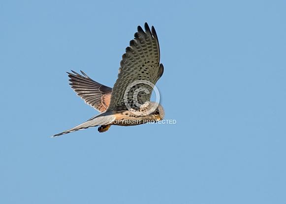 Male Common Kestrel in Flight