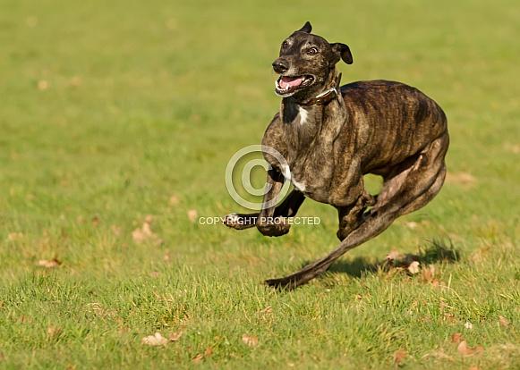 Brindle Greyhound at Speed