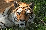 Bengal Tiger Close Up Face Shot
