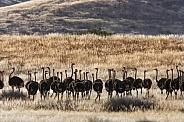 Ostrich (Struthio camelus) - Namibia
