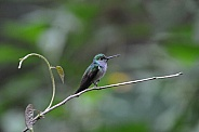 Blue-chested Hummingbird