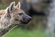 Hyena (Crocuta crocuta)