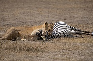 Wild lioness with zebra kill