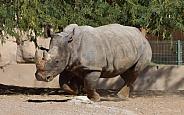 Indian White Rhino Running at Al Ain Zoo. UAE.