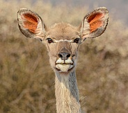 Female Kudu head portrait