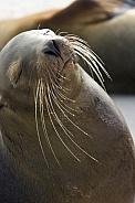 Galapagos Sea lion (Zalophus californianus wollebacki)
