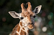 Giraffe Calf Head Shot Ears Out