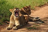 Lionesses (wild)