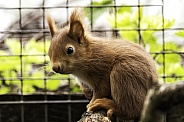 Red Squirrel Close Up Sitting