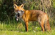 Red Fox snd prey