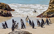 African Penguin Morning Swim