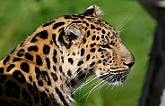 Amour Leopard Portrait