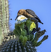 Gila woodpecker catching a bee to eat