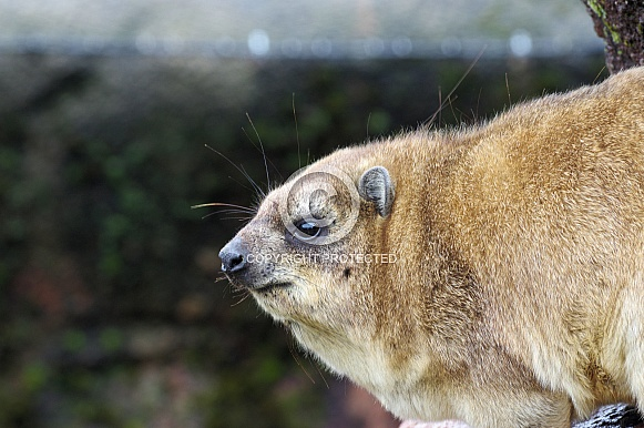Cape Hyrax profile