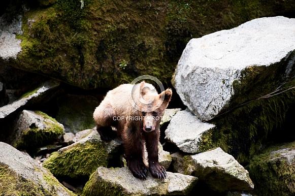 A wild grizzly bear cub in Alaska