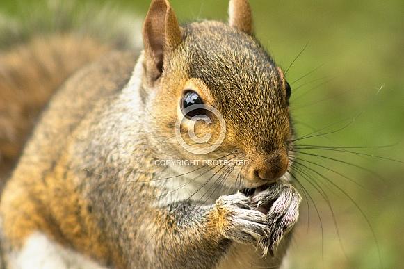 Grey Squirrel - Munchkin