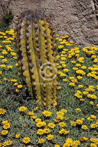Cactus growing in a bed of yellow flowers - Spain