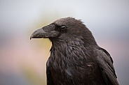 Raven portrait looking left.  Corvus corax