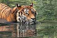 Bengal Tiger In The Water