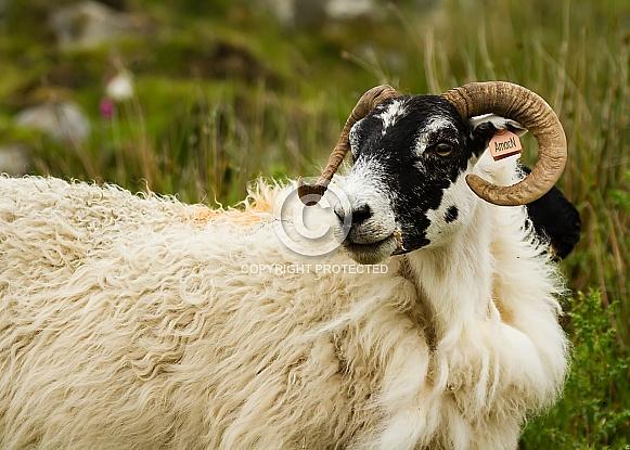 Scottish Blackface Sheep (Unshorn)