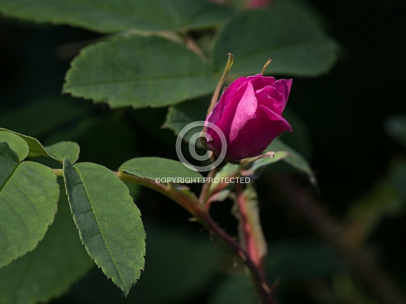 Wild Rose Bud in Alaska