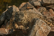 Snow Leopard Stalking On Rocks