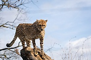 Cheetah high above