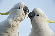 Two Sulphur-crested Cockatoos.