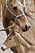 Australian Stock Horse Mare & Foal
