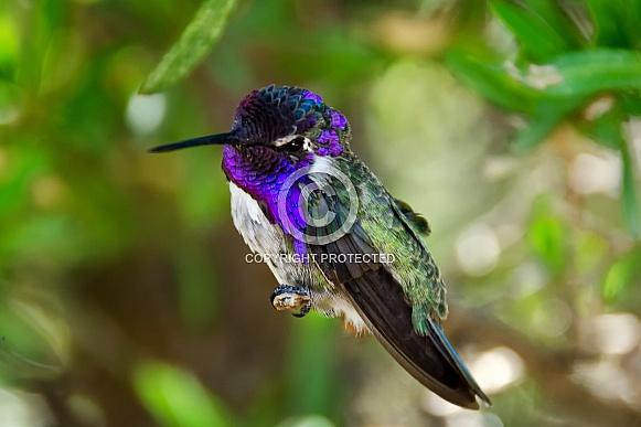 Hummingbird - Costa's Beauty