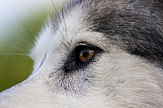 Northern Inuit Hybrid eye close up