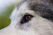 Northern Inuit Hybrid eye close up