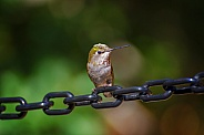 Hummingbird Breaks all Chains